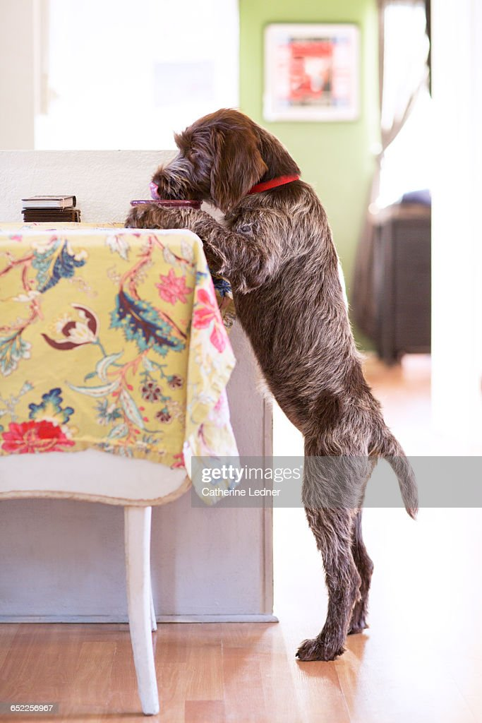 Dog standing up and eating at the table