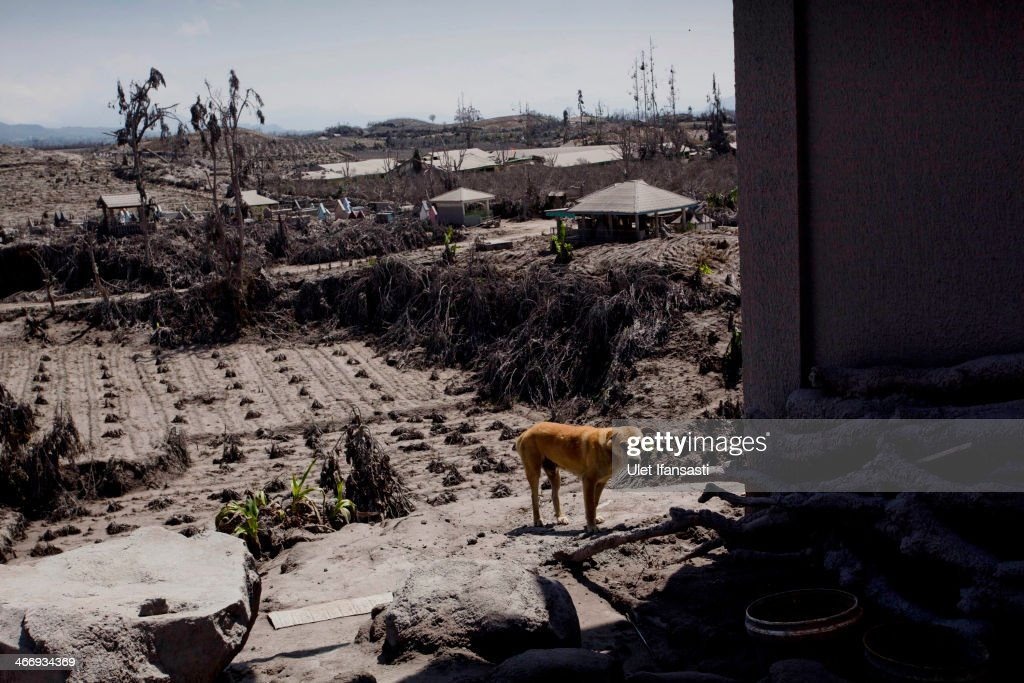 A dog stands in an abandoned village after the eruption Mount Sinabung February 05, 2014 in Sigarang Garang village, Karo District, North Sumatra, Indonesia. The number of displaced people has increased to around 30,000 in Western Indonesia as Mount Sinabung continues to spew ash and smoke after a series of several eruptions since September. At least 15 people were killed in an eruption of Mount Sinabung on Saturday, after residents were allowed to returned to their homes on Friday by authorities who had said that activity was decreasing.