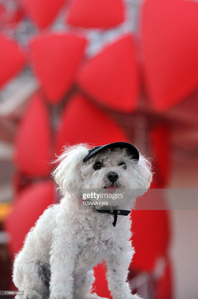 A dog stands in front of the red carpet before the screening of 'Es-Touh' (Les Terrasses) presented in competition at the 70th Venice Film Festival on September 6, 2013 at Venice Lido. AFP PHOTO / TIZIANA FABI