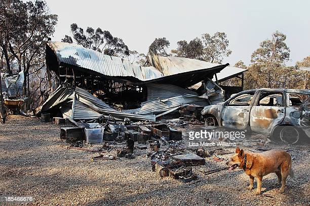 A dog stands near a home business destroyed by bushfire as seen on October 21 2013 in Yellow Rock Australia One man has died and hundreds of...