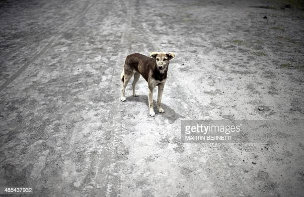A dog stands on a street covered with ashes from the Cotopaxi volcano in Mulalo 50 km south of Quito on August 27 2015 The volcanic activity which...