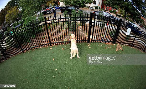A dog stands on special dog friendly astroturf that allows urine to pass through and is easy to clean on October 21 2010 at the S street Dog Park in...