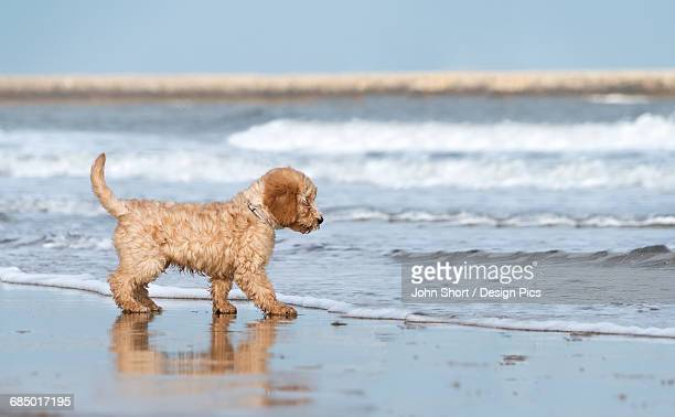 A dog stands on the beach at the edge of the surf