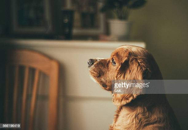 Dog staring at window