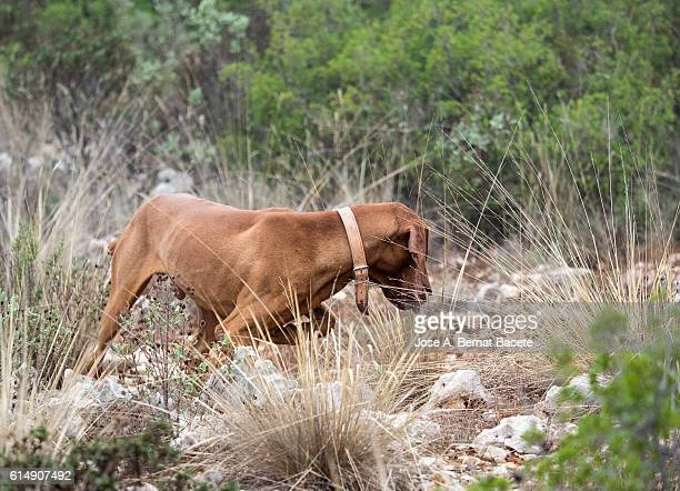 (Braco Hungaro) dog still, sniffing the trail of a partridge