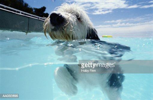 Dog Swimming in a Swimming Pool : Foto de stock