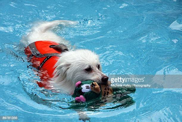 Dog swimming in pool with a toy