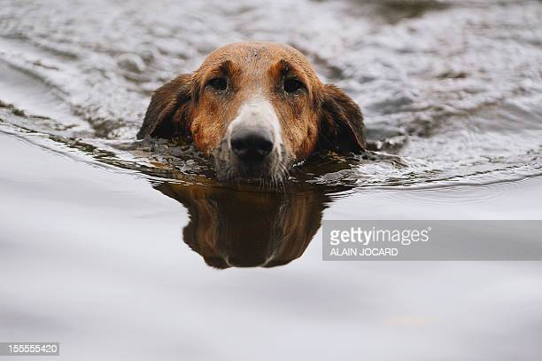 A dog swims in a pond during a staghunting on November 3 2012 in Amboise AFP PHOTO/ ALAIN JOCARD