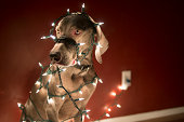 Weimaraner dog in living room tangled up in Christmas lights.