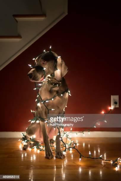 Cane Ingarbugliato in luci di Natale