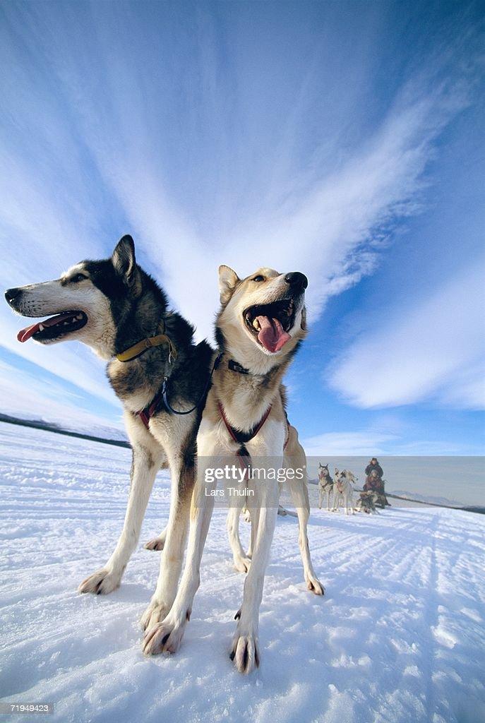 A dog team in Lapland Sweden.