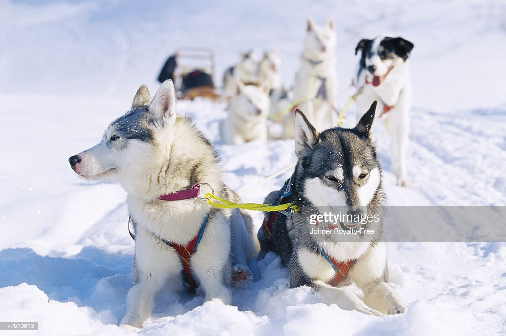 A dog team in the snow Lappland Sweden. : Stock Photo