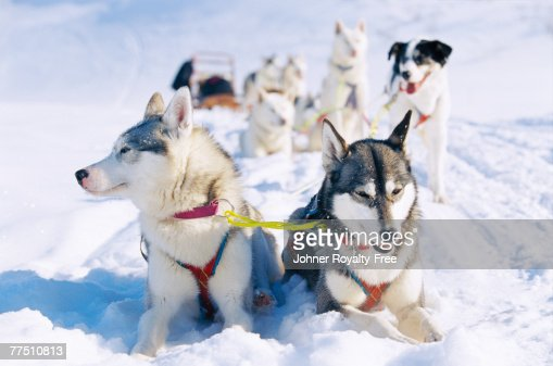 A dog team in the snow Lappland Sweden.
