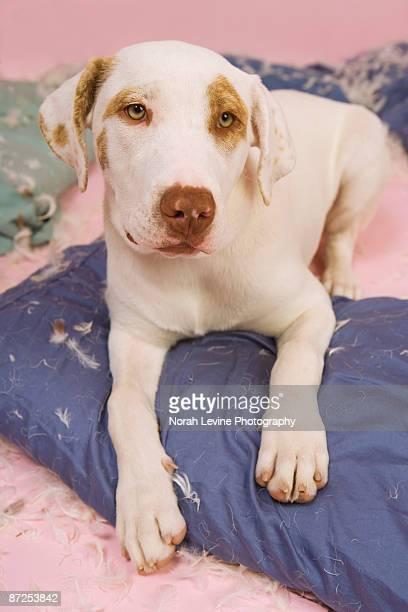 Dog tearing up pillows