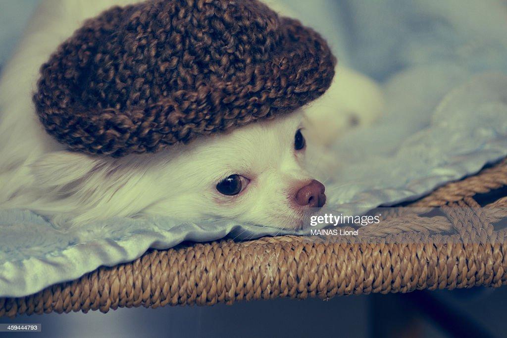 Dog thinking hat : Stock Photo