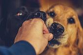 Animal, Dog, Labrador Retriever, Purebred Dog, Yellow Labrador Retriever