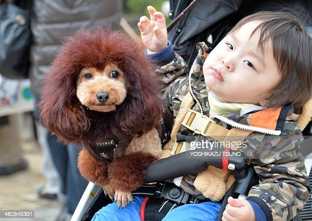 A dog trimmed to look like a lion sits on a baby cart with the son of the owner at the Mitsukoshi department store in Tokyo on April 5 2014 One...
