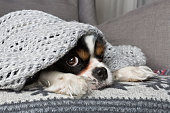 cute dog under the warm grey blanket