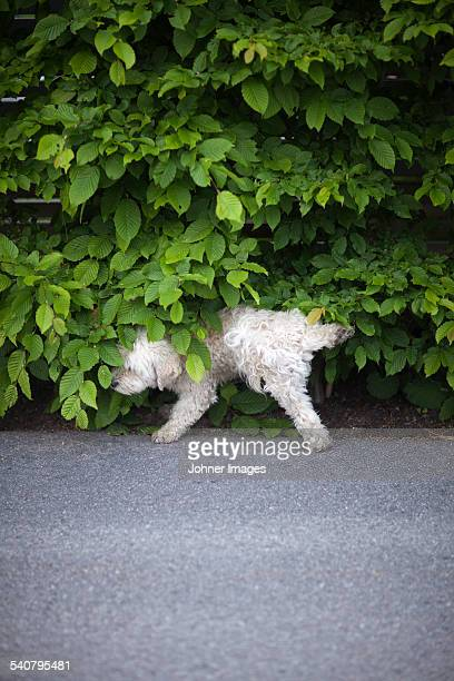 Dog urinating under hedge