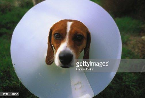 Dog w/ elizabethan collar on neck : Foto de stock