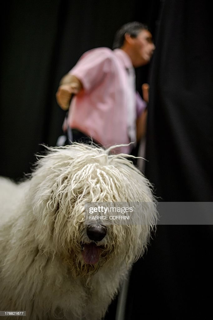 PEDRERO---A dog wait for the parade in the backstage as his master looks from behind a curtain during the European Dog Show on August 30, 2013 in Geneva. Big, small, shaved, hairy, curly, more than 11,000 doggies of all kinds, pampered to the extreme, and from all corners of Europe compete in Geneva until Sunday to win the title of the most beautiful dog in Europe.