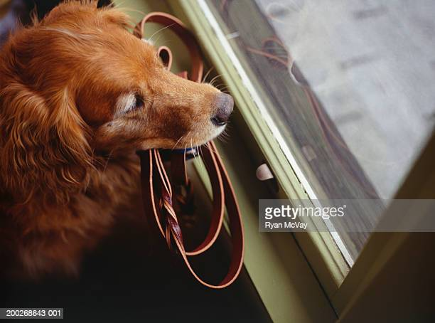 Dog waiting by window with leash in mouth, elevated view