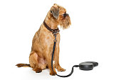 Dog breed Brussels Griffon waiting for a walk, isolated on white