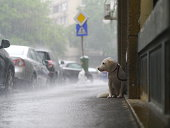 Dog waiting in the rain