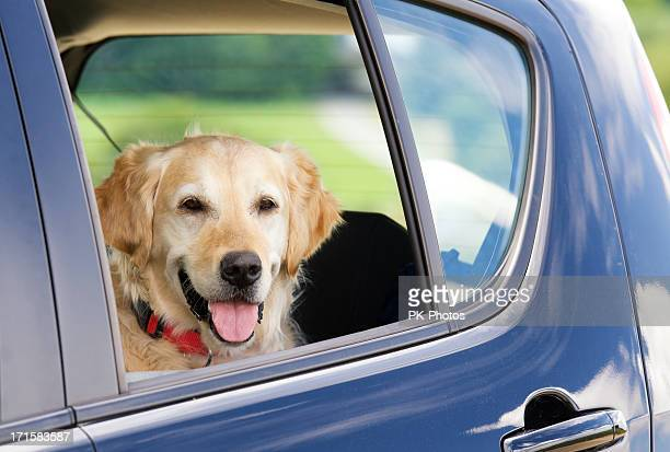 Dog waiting inside a car
