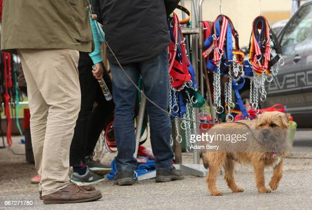 A dog waits as its owner shops for cattle bridles during an annual heifer auction on April 11 2017 in Gross Kreutz Germany Around 80 Angus Charolais...