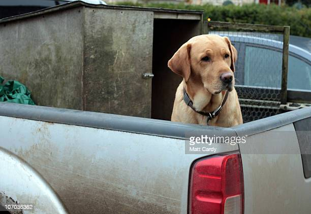 A dog waits for its owner in the back of a pick up truck outside a shop on November 20 2010 in Tetbury England The Gloucestershire town is close to...