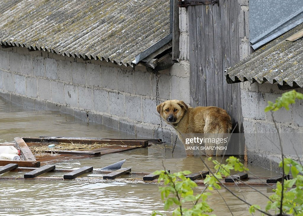A dog waits for rescue in a flooded farm