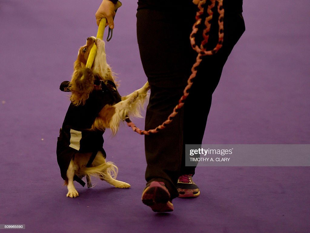 A dog waits to run the agility course during the 3rd Annual Masters Agility Championship on February 13, 2016 in New York, at the 140th Annual Westminster Kennel Club Dog Show. Dogs entered in the agility demonstrate skills required in the challenging obstacles that they will need to negotiate. / AFP / Timothy A. CLARY
