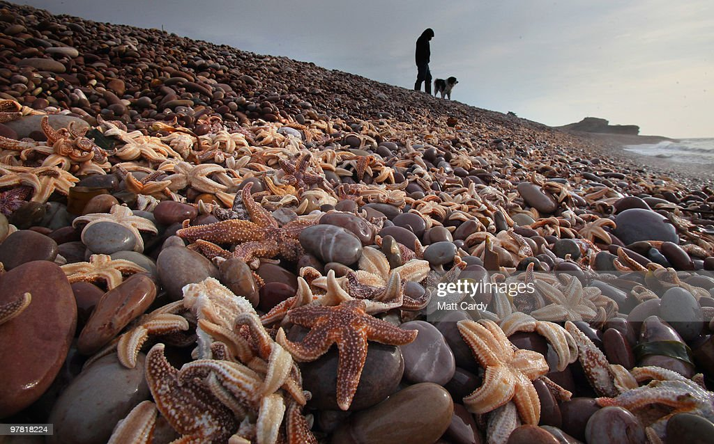 A dog walker looks at some of the thousands of starfish that have been washed up on the beach at Budleigh Salterton on March 18, 2010 in Devon, England. Over the last few days hundreds of thousands of starfish have been washed up on the beach, which marine experts believe is due to them become susceptible to high tides and storms after becoming exhausted spawning. Similar events happen once or twice a year in the UK, but it is the first time for Budleigh Salterton.