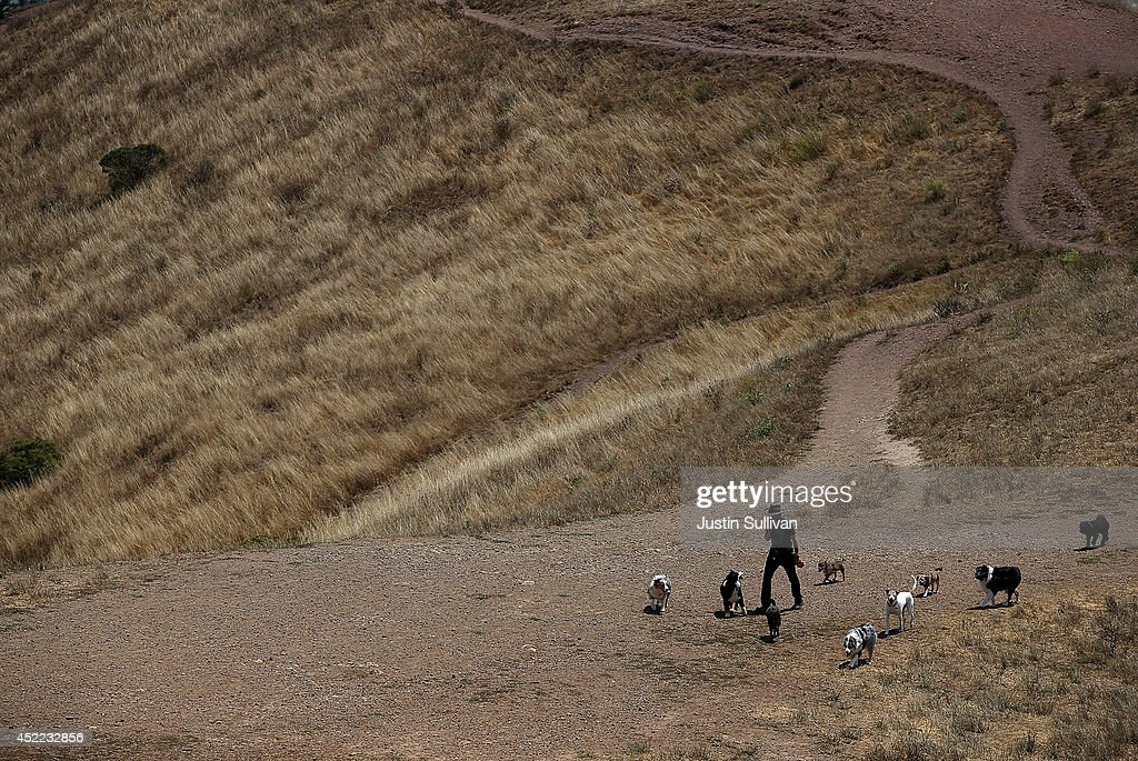 A dog walker walks a group of dogs on a dried section of Bernal Heights Park on July 16, 2014 in San Francisco, California. As the severe drought in California contiues to worsen, the State's landscape and many resident's lawns are turning brown due to lack of rain and the discontinuation of watering.