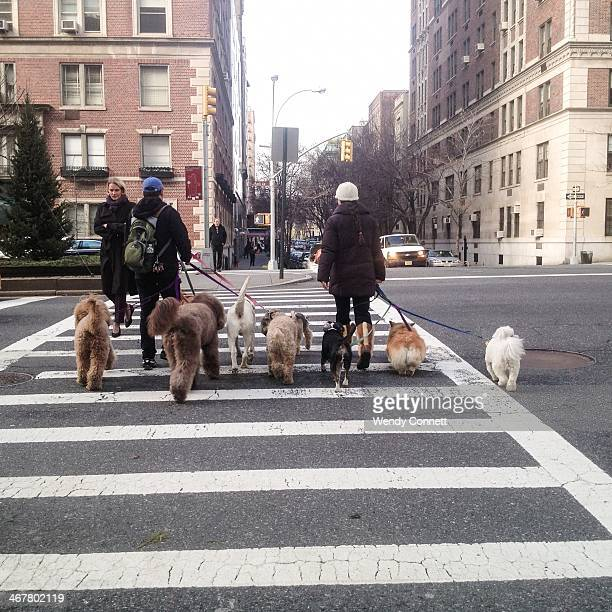 Dog Walkers Park Avenue Manhattan New York City USA