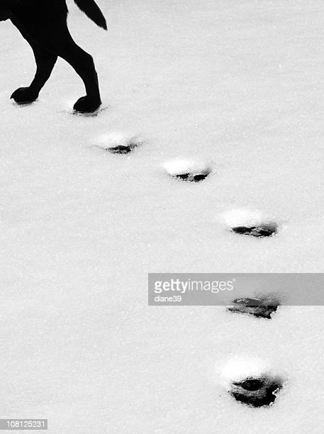 Dog Walking with Paw Print Tracks Left in Snow