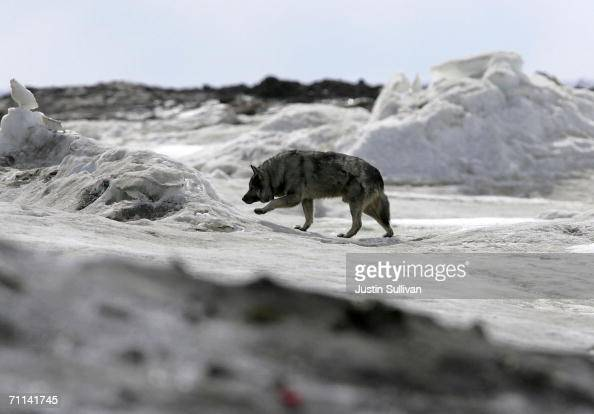 A dog walks along the frozen Arctic Ocean June 6 2006 in Browerville Alaska Scientists continue to study changes in the Earth's climate which many...