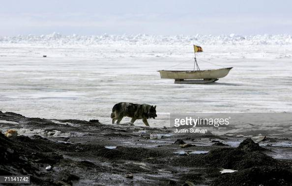 A dog walks along the frozen Arctic Ocean near a whaler's boat June 6 2006 in Browerville Alaska Scientists continue to study changes in the Earth's...