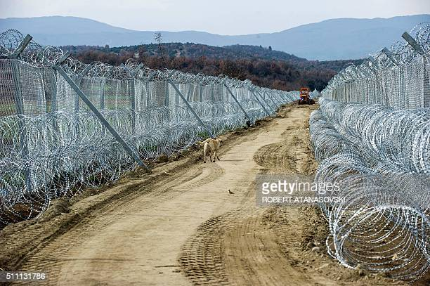 A dog walks as an army vehicle creates a path between the two razor wire fences at the border line between Macedonia and Greece near Gevgelija on...