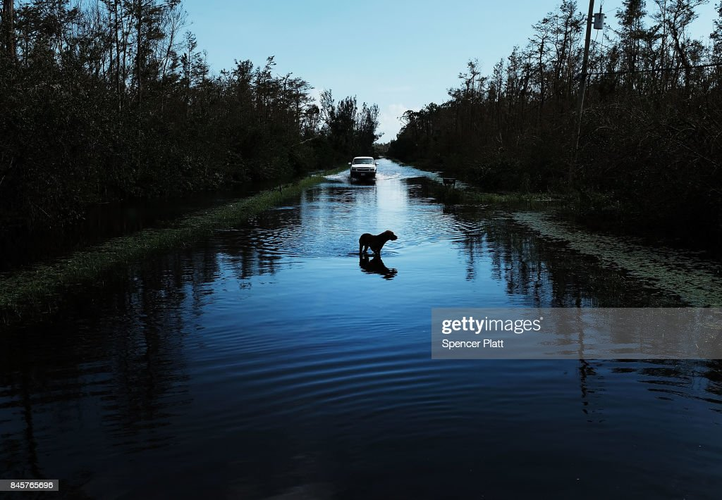 A dog walks through a flooded street in a rural part of Naples the day after Hurricane Irma swept through the area on September 11, 2017 in Naples, Florida. Hurricane Irma made another landfall near Naples yesterday after inundating the Florida Keys. Electricity was out in much of the region with extensive flooding.