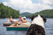 A wet dog sitting on the cottage dock watches people swimming and boating on Lake of Bays in Muskoka Ontario Canada