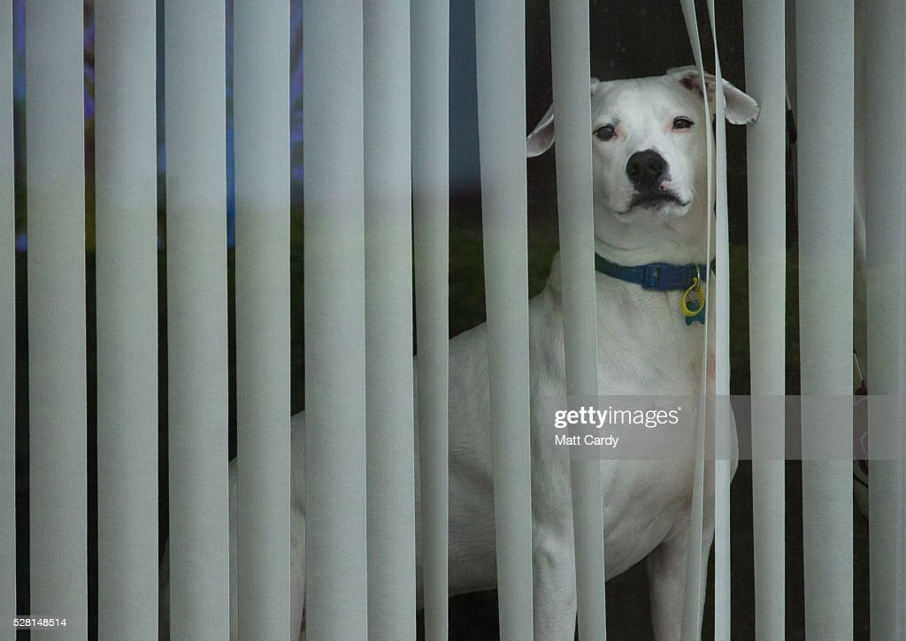 A dog watches from a window as prospective Conservative MSP for Dumfriesshire Oliver Mundell canvasses on the streets of a housing estate on May 4, 2016 in Dumfries, Scotland. The son of David Mundell, the Secretary of State for Scotland and the only Tory MP in Scotland, is hoping that disgruntled Labour voters and a swing to the Conservatives in the constituency he is campaigning in will lead to him taking a place in Holyrood in tomorrow's Scottish Parliament elections. As campaigning for the Holyrood election enters its last twenty four hours, recent polls suggest the Conservatives are virtually neck-and-neck with Labour in the race to be the main opposition party in Scotland.