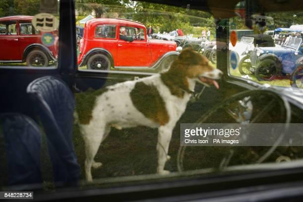 A dog watches the activity from the passenger seat at the 50th Austin Seven rally at the National Motor Museum in Beaulieu Hampshire