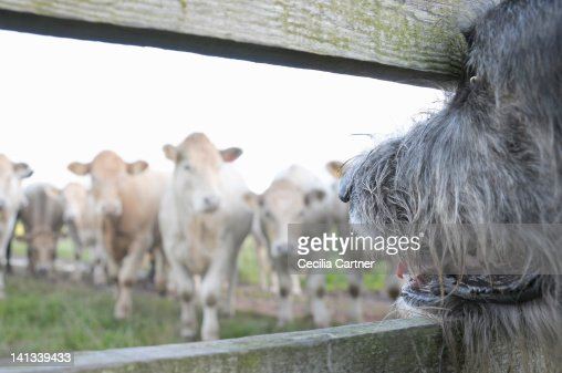Dog watching cows through fence : Stockfoto