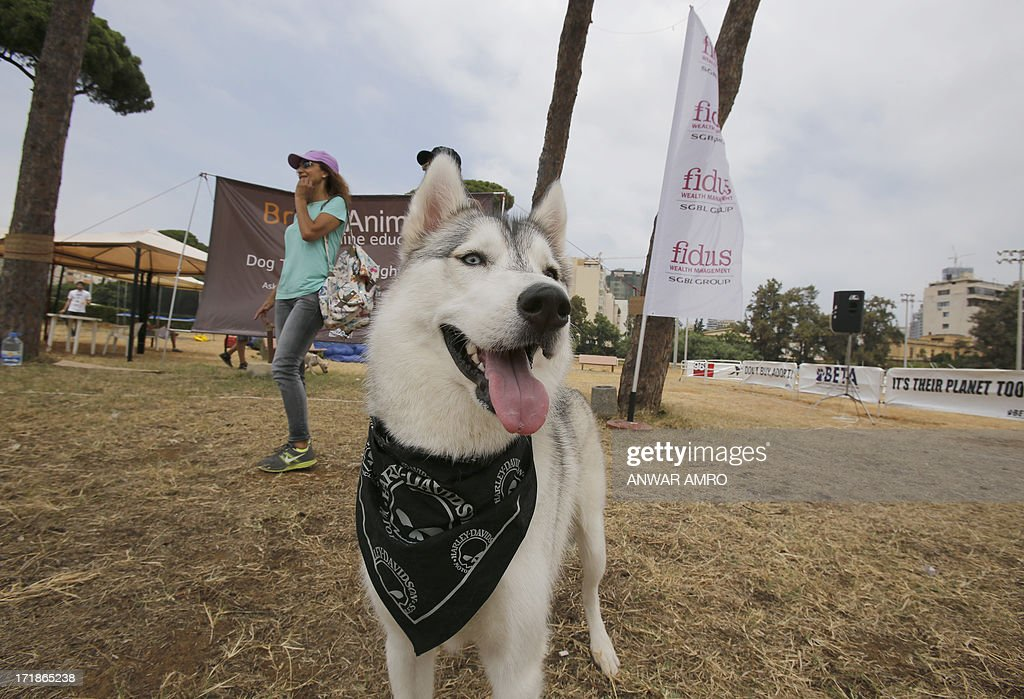A dog wearing a bandanna is seen at the Beirut for the Ethical Treatment of Animals (BETA) dog show in Beirut, which holds contests to name 'best dog', 'cutest puppy', and 'best dog costume' in addition to 12 other categories on June 29, 2013. The show is one of BETA's major fundraisers to try to improve the welfare of animals in the region and to stop the abuse against them.