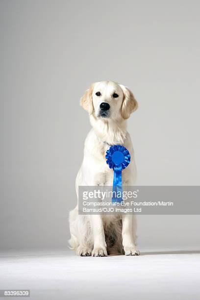 Dog wearing a blue ribbon