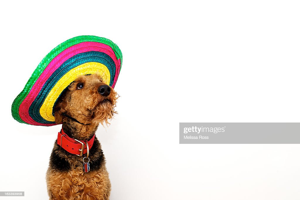 Dog wearing a colorful Mexican sombrero. : Stock Photo