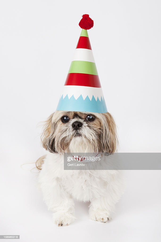 Dog wearing a party hat : Stock Photo