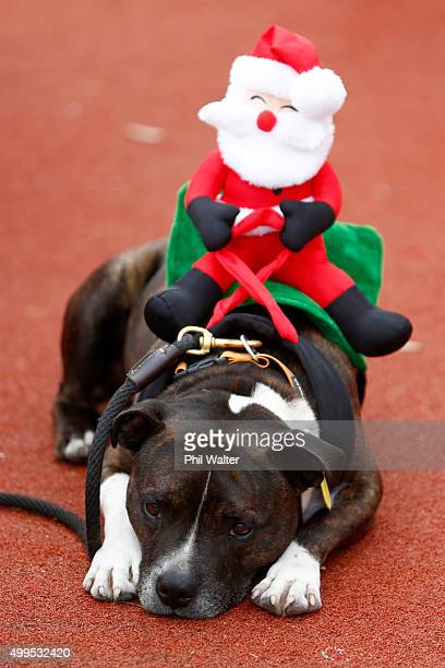 A dog wearing a soft toy Santa rests on Queens Wharf before the annual KidsCan Santa Fun Run on December 2 2015 in Auckland New Zealand The annual...